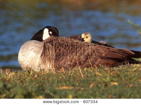 Canada Goose with her gosling