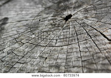 The close-up of the growth rings on the sawn tree