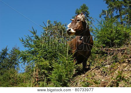 A cow walks down the hill in the morning in the Carpathian region