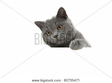 Young Cat With Yellow Eyes On A White Background Sits Behind A White Banner