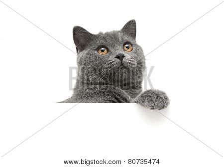 Cat With Yellow Eyes On A White Background Sits Behind A White Banner