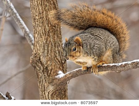 Fox Squirrel, Sciurus Niger