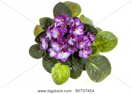 Mauve African Violet With Bright Green Leaves