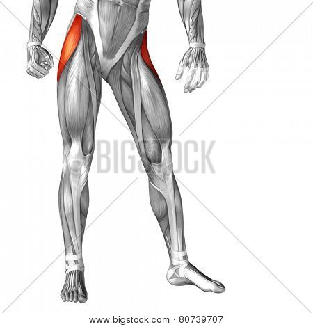 Concept or conceptual 3D tensor fasciae latae human upper leg anatomy or anatomical and muscle isolated on white background