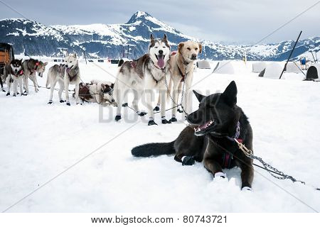 Sled Dogs Take A Rest Break