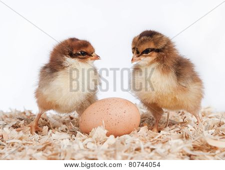 Two Baby Chicks With An Egg