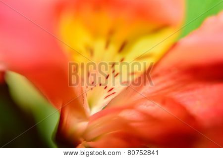 Base of Alstroemeria Flower Petal in Abstracted Macro