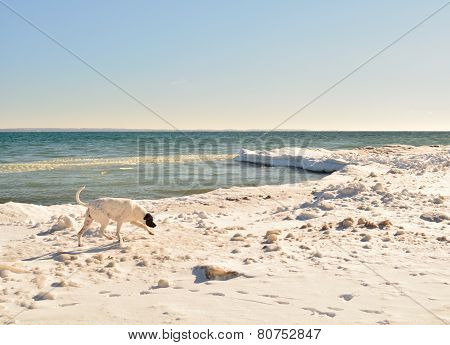 Snowy Lake Michigan Beach with Sniffing Dog in Motion