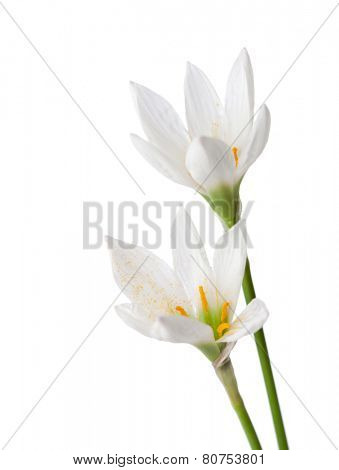 Two lilies isolated on a white background. zephyranthes candida