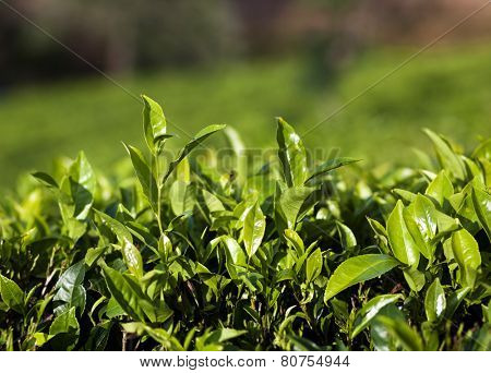 Close up fresh tea leaves in morning sunlight
