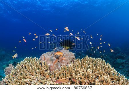 Anthias and tropical fish around a hard coral