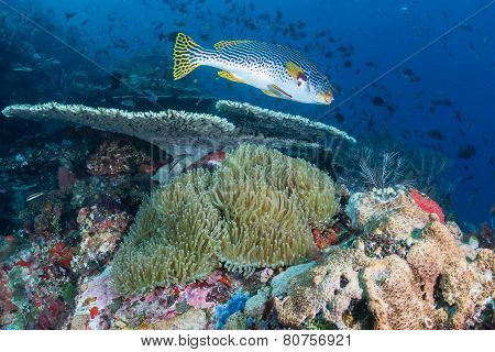 Sweetlips on a coral reef