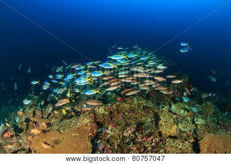 Shoals Of Tropical Fish Around A Deep Water Coral Pinnacle