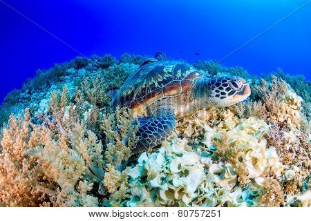 Turtle on a reef
