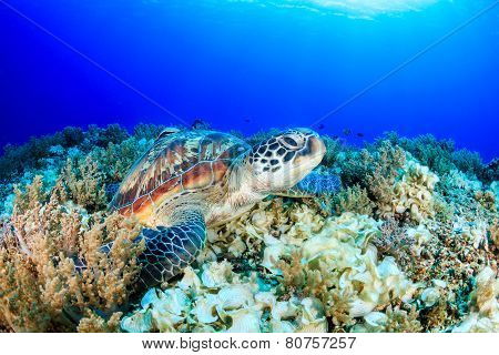 Sea Turtle Looking Up From A Tropical Coral Reef