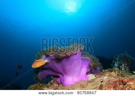 Skunk Anemonefish Clownfish anemone