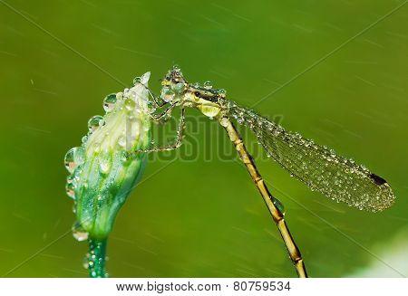 Dragonfly In Rain.