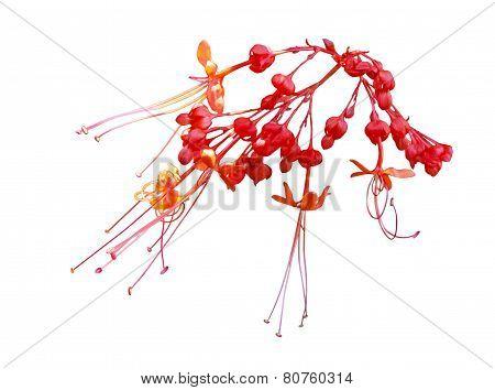 Java Glorybower Flower