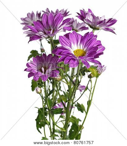 purple chrysanthemum on white background