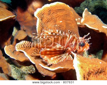 Lionfish On Coral