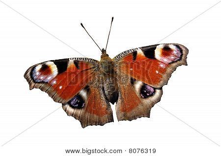 Isolated reddish butterfly European Peacock (Inachis io)
