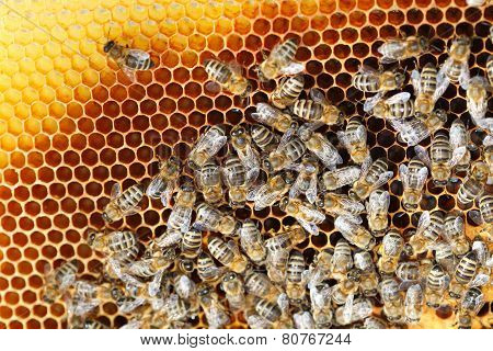 Many Bees On Beeswax