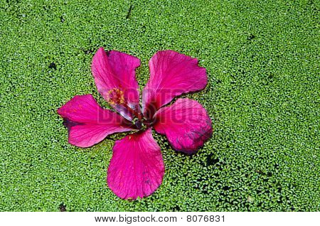Hibiscus On The Green