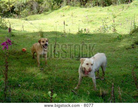 Labrador And Fila