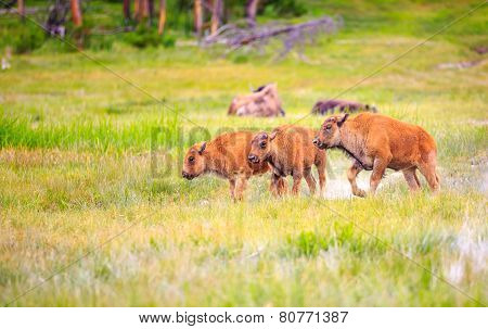 American Bison Calves