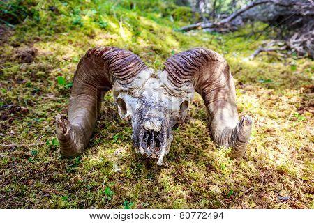 Big Horn Sheep Skull
