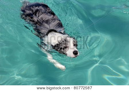 Swimming Dog - Border Collie