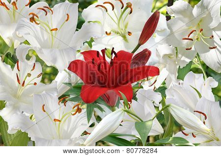 Background Of White Lily