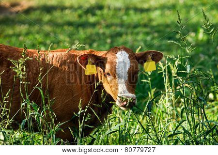 Freely Grazing Cow