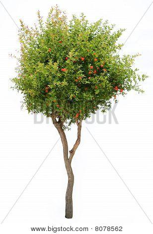 Pomegranate tree isolated.