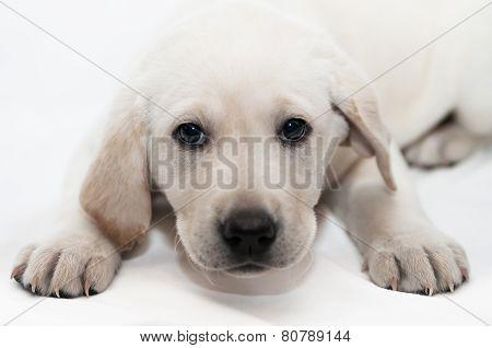 White Labrador Retriever Puppy Dog