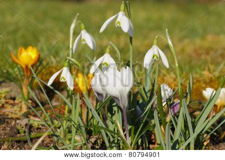 Blossoming Snowdrops
