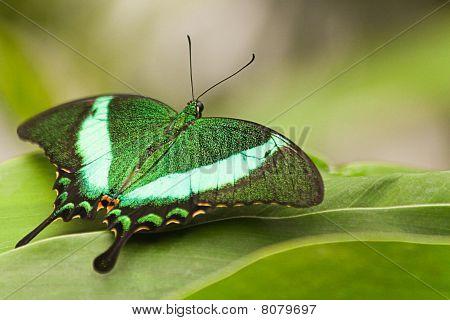 Green Peacock Swallowtail