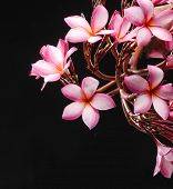 picture of glorious  - Glorious branch frangipani or plumeria flowers on black background - JPG