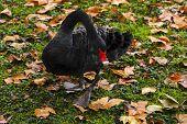 stock photo of black swan  - Black Swan walking in park at autumn - JPG