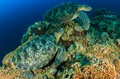 foto of green turtle  - Two large green sea turtles on a tropical coral reef - JPG