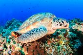 picture of green turtle  - Green Turtle on a tropical coral reef - JPG