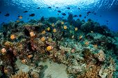 stock photo of school fish  - School of Butterflyfish and other tropical fish on a coral reef - JPG