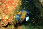 image of angelfish  - Ring Angelfish - JPG