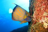 foto of angelfish  - Ring Angelfish - JPG