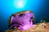 stock photo of skunks  - Skunk Anemonefish Clownfish anemone - JPG