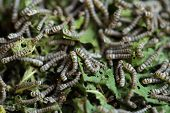 pic of mulberry  - silkworms with mulberry leaves on the woven basket