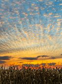 picture of glorious  - Cornstalks at harvest time stand before a glorious sunset sky in the American Midwest - JPG