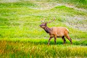 picture of wander  - Male Elk wandering inside Yellowstone National Park - JPG