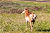 foto of mule  - Mule deer in Bryce Canyon National Park Utah