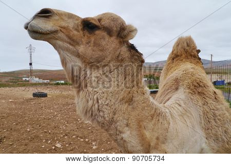 Close up of a dromedary or Arabian camel
